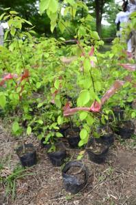 植樹祭 苗木