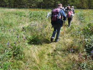大平湿原のリンドウ