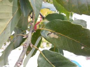 ①スカシカギバの幼虫